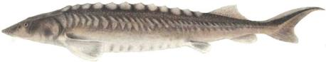 Adriatic Sturgeon (Acipenser naccarii)